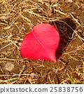 枫树 枫叶 红枫 25838756
