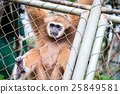 Gibbon catch the net in cage 25849581