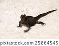 marine, iguana, sea 25864545
