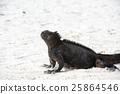 marine, iguana, sea 25864546