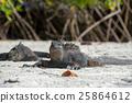 marine, iguana, sea 25864612