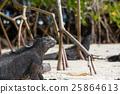 marine, iguana, sea 25864613