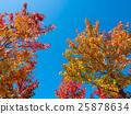 美式風格 楓香 植物 25878634