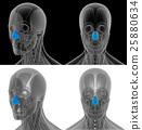 3D render illustration of the dilator naris 25880634