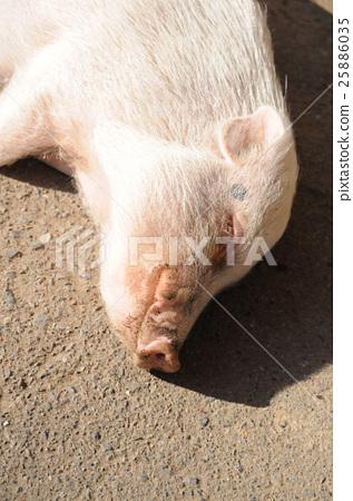 Pigs to take a nap 25886035