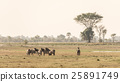 Herd of Zebras grazing in the bush 25891749