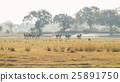Herd of Zebras grazing in the bush 25891750
