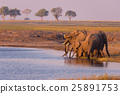Group of African Elephants drinking water 25891753