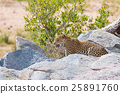 Big Leopard in attacking position 25891760