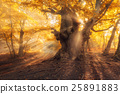 Magical old tree with sun rays at sunrise  forest 25891883
