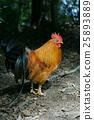 鳥兒 鳥 公雞 25893889