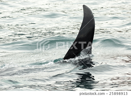 Killer Whale - Orcinus Orca in Pacific Ocean 25898913