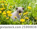 kitten, siamese, dandelion 25900636
