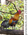 Image of a cock on nature background 25905614