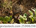Jaguar biting yacare caiman with open jaws 25906298