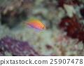 水下照片 魚 海底的 25907478