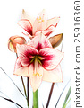 Abstract photo of a white and red amaryllis flower 25916360