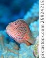물고기, 생선, 얼룩 25924215