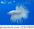 สัตว์เลี้ยง,ปลาเขตร้อน 25924899