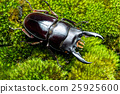 The Stag Beetle 25925600