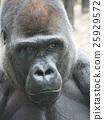 고릴라, 동물원, 연하장 25929572
