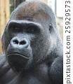 고릴라, 동물원, 연하장 25929573