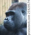 大猩猩 西方大猩猩 猿人 25929574