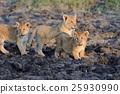 幼獸 獅子 年輕 25930990