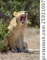 獅子 非洲 非洲人 25931007