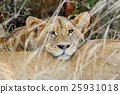 獅子 非洲 非洲人 25931018