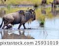 Wildebeest 25931019