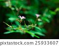 Geranium robertianum 25933607