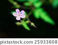 Geranium robertianum 25933608