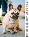 French Bulldog is small breed of domestic dog. 25934627