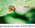 Colorado Potato Striped Beetle - Leptinotarsa 25934644
