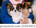 The Papillon dog also called the Continental Toy 25934653
