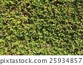 綠葉 3 25934857