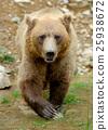 bear, animal, brown 25938672