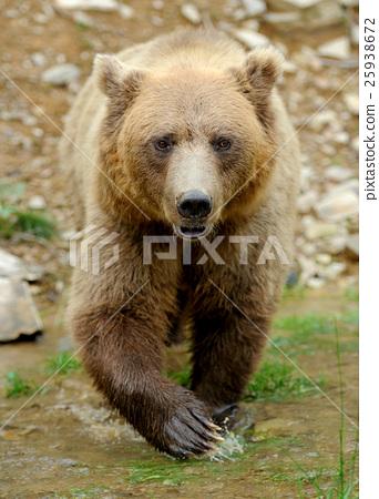Brown bear (Ursus arctos) in nature 25938672