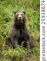 bear, animal, brown 25938674