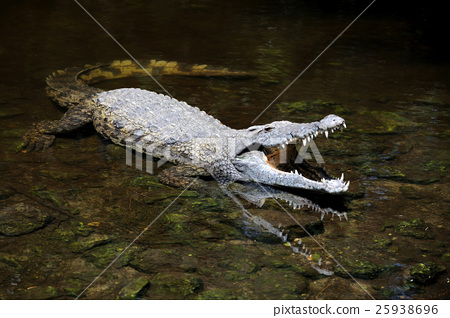 Crocodile in water. Kenya, Afrca 25938696