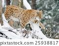 animal, bobcat, lynx 25938817