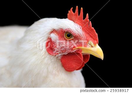 White chicken 25938917