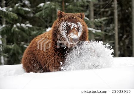 Bear 25938919