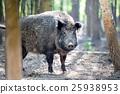 Wild boar 25938953