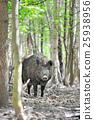Wild boar 25938956