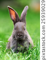 Rabbit 25939029