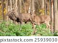 Deer 25939030