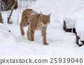 lynx, bobcat, wildcat 25939046