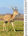 Deer in autumn field 25939067